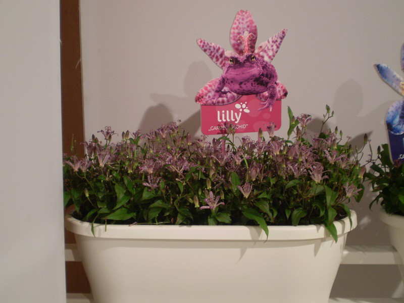 "Tricyrtis ""Here comes Lilly"""